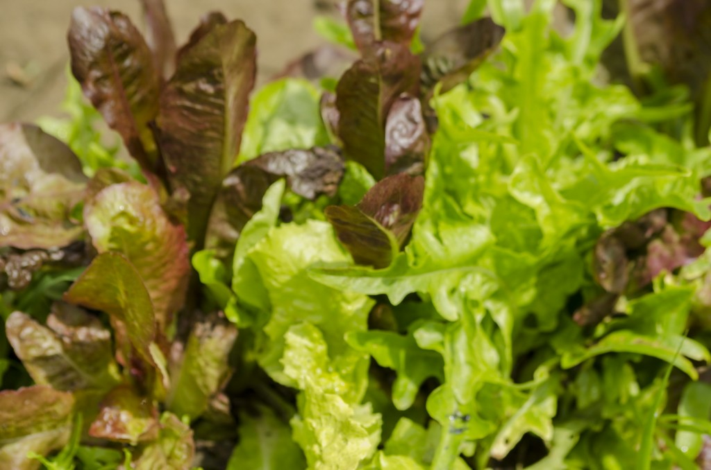 Fresh spring lettuce is so delicious, grows best planted early in spring.
