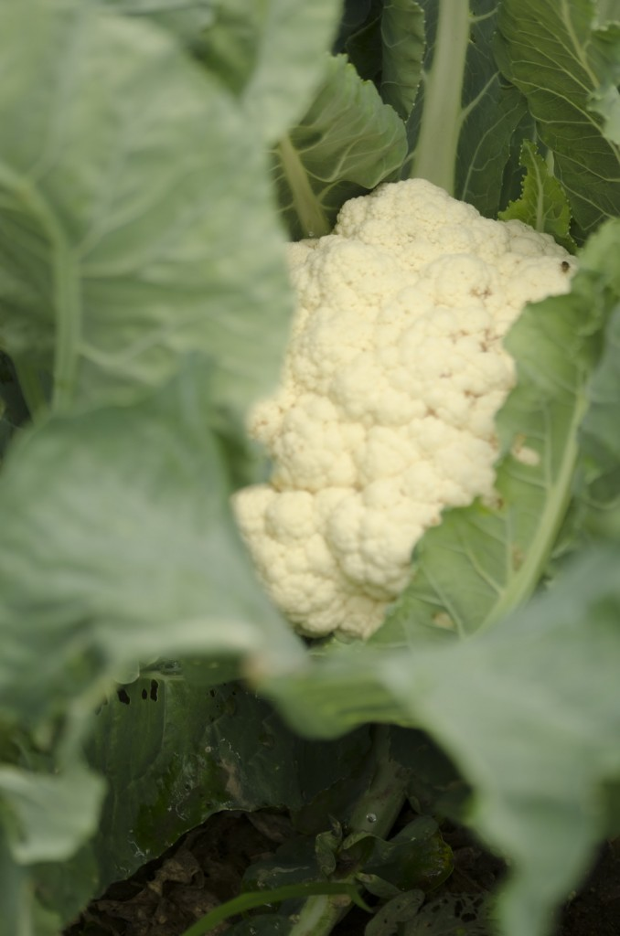 Growing Cauliflower is easy., grow it early in the spring when it is cool.