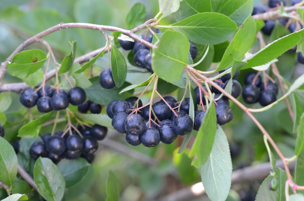 Aronia berry ready to be picked, in late August.